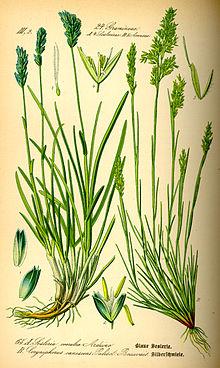 žolė augalų varpą nuo ko varpa gali pasidaryti kreiva