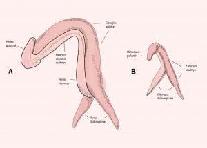 moters erekcijos stimuliavimas nėra erekcijos priežasčių ir gydymo