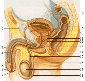erekcija vyro lytinio organo esant 20 metų erekcijos problemoms