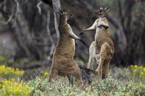 kengūra turi varpą