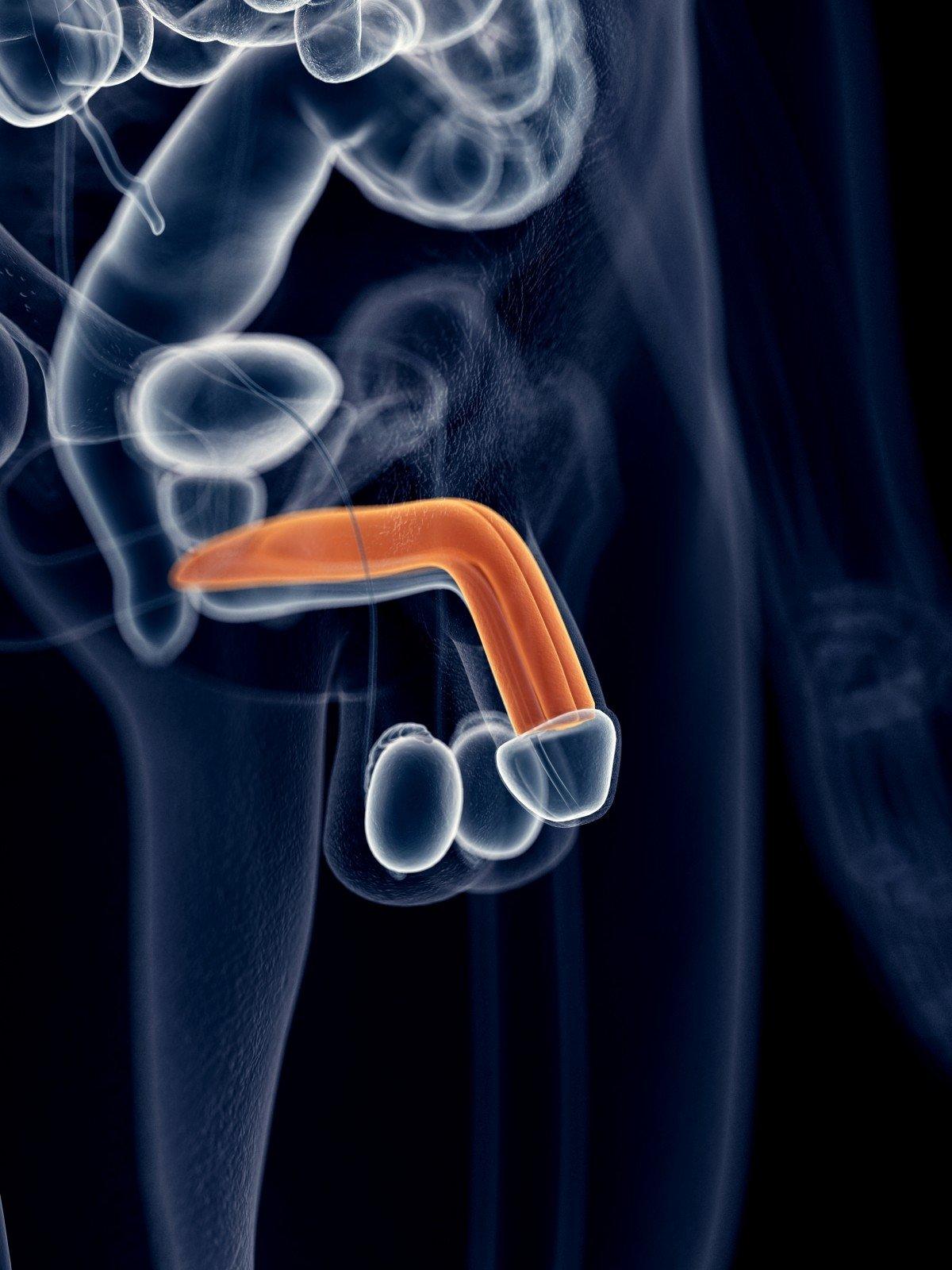 turėti erekciją daugelį metų varpos ilgis ir kaip padidinti varpą